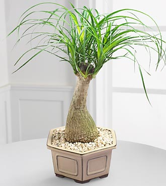Pony Tail Palm Bonsai