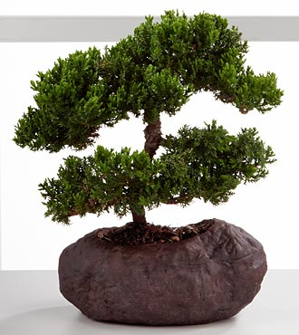 Stunning Summits Green Mound Juniper Bonsai - 8-inches high