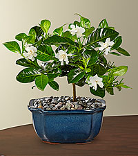 Blossoming Abundance Gardenia Bonsai - 6'H