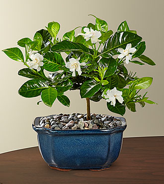 Blossoming Abundance Gardenia Bonsai - 6