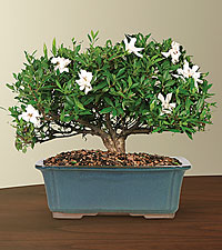Blossoming Abundance Gardenia Bonsai - 12'H