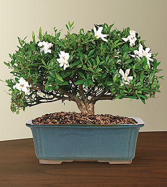 Blossoming Abundance Gardenia Bonsai - 12