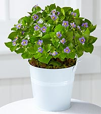 The FTD® Delicate Inspirations Violet Plant by Better Homes and Gardens®