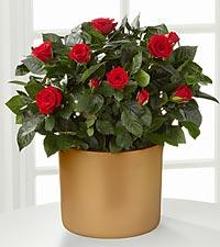 Sheer Elegance Mini Rose Plant - 6.5-inch